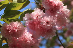 Cherry blossoms / Sato-zakura / 里桜(サトザクラ) (TANAKA Juuyoh (田中十洋)) Tags: 5d markii hi high res hires resolution 高精細 高画質 ibaraki bando nature museum 茨城 坂東 いばらき ばんどう しぜん はくぶつかん cherry blossoms sakura 桜 さくら サクラ 櫻 サトザクラ 里桜