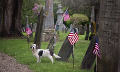 In Honor and Remembrance  21/52 (Boered) Tags: revolutionarywar veteran grave marker chester vermont darla dog flags graveyard memorialday cemetery 52weeksfordogs