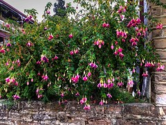 Franklin Tavern (AdamsWife) Tags: australia tasmania franklin tavern hotel pub flowers plants entrance fuchsia