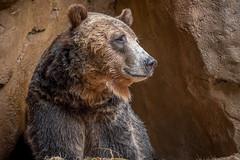 Watching From His Den (helenehoffman) Tags: omnivore brownbear scout wildlife grizzlybear nature ursus sandiegozoo carnivore conservationstatusleastconcern ursusarctos mammal ursusarctoshorribilis animal bear specanimal coth5