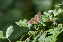_DSC0024 May 27 (Geof.S) Tags: speckled wood butterfly titchfield haven