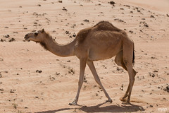 Camel in Wahiba Sands (mzagerp) Tags: eau aue emirats arabes unis united arab emirates oman mascat mascate abu dhabi dubai bani awf wadi khalid shab mosquee mosque muslim louvre muscat masqat