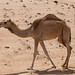 Camel in Wahiba Sands