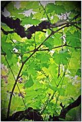 Sous la treille (eva Landes) Tags: jardin vigne foliage