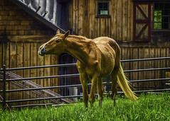 Horse Fence and Barn (jsleighton) Tags: horse farm field barn fence door grass standing portrait