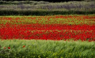 Poppies, fields in the spring