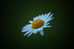 Daisy (JiJaRo) Tags: macro flower daisy garden czech nature canon bokeh snapseed
