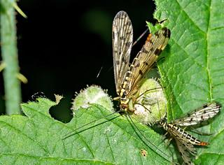 Panorpidae = Skorpionsfliege, weiblich,