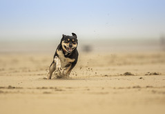 Run for fun (Dogstar_photography) Tags: canon eos 5d mk iv ef300mm f28l is usm beach sand sea fun run rescue dog scandal happy