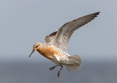 Red Knot landing (tresed47) Tags: 2018 201805may 20180515njreedsbeachbirds birds canon7d capemay capemaynwr content folder may newjersey peterscamera petersphotos places redknot reedsbeach ruddyturnstone season shorebirds spring takenby us ngc