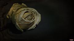 Days of Youth Gone By (MBates Foto) Tags: botanicals color flora floral flower indoors macro nikkorlens nikon nikond810 nikonfx petals rose studio textures spokane washington unitedstates 99203
