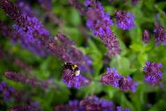 Honeybee and flowers .. (Julie Greg) Tags: flower flowers nature park colours fujifilm honeybee purple bee plant garden macro animal kent england