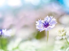 cornflower (Tomo M) Tags: flower nature ヤグルマギク outdoor bokeh light bright pentacon spring pastel dreamy soft