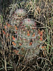 CAE014497a (jerryoldenettel) Tags: 180603 brownfloweredhedgehogcactus countyroade034 echinocereus echinocereuschloranthus echinocereusviridiflorusvcanus graybeardhedgehogcactus greenfloweredhedgehogcactus lincolnco nm riverside cactus eastofriverside flower hedgehog hedgehogcactus nylonhedgehogcactus smallfloweredhedgehogcactus willdflower