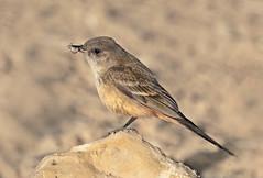 Say's Phoebe (Sayornis saya) (Ron Wolf) Tags: chacoculturenationalhistoricalpark nationalpark bird desert feeding flycatcher nature nest nesting wildlife newmexico sayornissaya