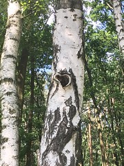 Heart (basiamarcisz) Tags: green nature przyroda natura brzoza birch forest las drzewo tree