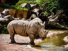 Rhino (lordcroci) Tags: muscles rhino animal animals beautiful nature earth planet horn