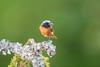 Male Redstart (www.andystuthridgenatureimages.co.uk) Tags: redstarts male thrush branch lichen perch feeding food woodland tree woods uk