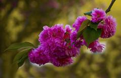 Blossoms (ost_jean) Tags: blossoms nikon d5300 7003000 mm f4563 ostjean bloesem bokeh ngc