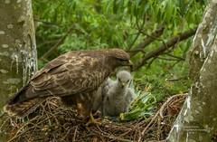 Buzzard Family (Steven Mcgrath (Glesgastef)) Tags: common buzzard hawk buteo raptor bird prey glasgow scotland uk wild wildlife chick nest chicks nesting wifi remote scottish