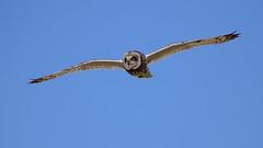 Short eared owl (Terry Angus) Tags: owl shortearedowl short eared skomerisland wales