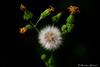 Big finish (christian.grelard) Tags: vert fleur flower flowers spring printemps dandelion pissenlit fireworks macro macrophotography sigma sigma105mm garden nature