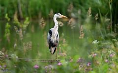 Grey Heron. (spw6156 - Over 6,560,030 Views) Tags: grey heron copyright steve waterhouse