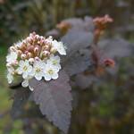 Au jardin, physocarpus à feuille d'obier (Physocarpus opulifolius