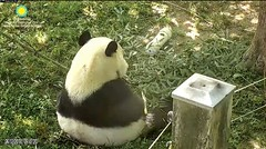 2018_06-12 (gkoo19681) Tags: beibei chubbycubby fuzzywuzzy adorableears morningboo toocute tranquil beingadorable precious darling meltinghearts contentment comfy ccncby nationalzoo