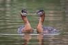 Red-necked Grebe (Turk Images) Tags: redneckedgrebes waterbirds breedingseason podicepsgrisegena alberta birds grebes podicipedidae rngr wetlands spring