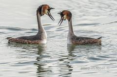 confidències (Josep M.Toset) Tags: animalia aus aigua chordata catalunya d500 família podicipedidae podiceps paradanupcial josepmtoset ocells ocell·aquàtic fauna sigma150600mmf563sports