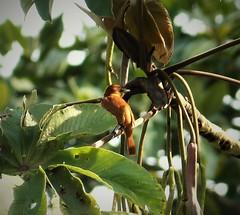 Cinnamon Becard Pachyramphus cinnamomeus (gailhampshire) Tags: cinnamon becard pachyramphus cinnamomeus taxonomy:binomial=pachyramphuscinnamomeus panama birds