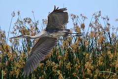 Great Blue Heron at San Joaquin Wildlife Sanctuary, Irvine, CA (OC Hiker) Tags: sanjoaquinwildlifesanctuary 06072018 orangecounty california afsdxnikkor55300mmf4556gedvr nikond5300 birds greatblueheron ardeaherodias オオアオサギ
