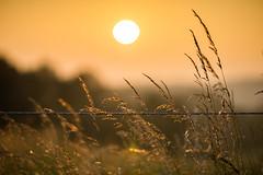 Grasses at sunset for HFF (VintageLensLover) Tags: hff fencedfriday zaun sonnenuntergang sonne gräser wiesen felder golden samyang135mmf2 sonya7ii