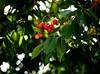 20180616-063 (sulamith.sallmann) Tags: essen pflanzen baum botanik food fruit kirschbaum kirschen laubbaum natur obst obstbaum pflanze tree sulamithsallmann