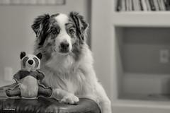 Serious Fun (Jasper's Human) Tags: dog panda toy aussie australianshepherd