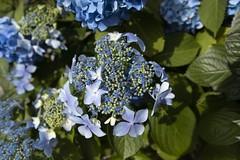 Bundle of Charm (Giorgi Natsvlishvili) Tags: hydrangea flowers flower batumi adjara georgia canon eosm50 photography travelphotography travel
