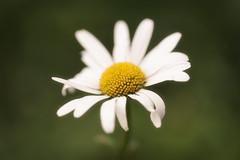 quasi lilii flores (Jacko 999) Tags: quasi lilii flores simple simplicity robert eede canon eos 5ds r ef100mm f28l macro is usm ƒ28 1000mm 1400 iso100 flower pretty beauty beautiful petal petals