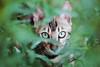 Naïla (Chamaloote & Fabrizio) Tags: félin chat bengale race vert yeux caché portrait animal domestique