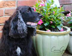23/52 - Sammy 2018 (conniegavin12) Tags: 52weeksfordogs fieldspaniel spaniel dog pet flowers
