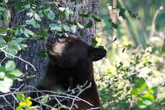 Running out of berries (RPahre) Tags: bear blackbear murieranch yellowstoneonline grandtetonnationalpark wildlife