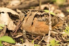 Woodcock (Ronda Hamm) Tags: 100400mkii 7dii bird mageemarsh ohio animal camoflage canon eating woodcock worm