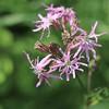 Ragged Robin - silene flos-cuculi (Kez West) Tags: raggedrobin wildflower june summer native silenefloscuculi flora britishwildflower