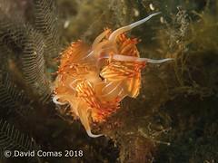 Roses - Cap Norfeu (CATDvd) Tags: canonpowershots120 fotosub underwaterphotography catalonia catalunya parcnaturalcapdecreus capnorfeu may2018 catdvd davidcomas httpwwwdavidcomasnet httpwwwflickrcomphotoscatdvd nudibranch nudibranqui nudibranquio seaslug dondicebanyulensis godivataronja