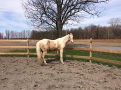 ** Un cheval bien-aimé...** (Impatience_1) Tags: domino cheval horse bête animal bêtesdedanielle equin equine 25ans impatience tree enclos clôture fence 25yearsold enclosure supershot coth coth5 alittlebeauty fantasticnature sunrays5 abigfave