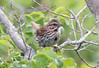 Song Sparrow (Laura Erickson) Tags: harborisland birds species lincolncounty emberizidae songsparrow passeriformes joyofbirding2018 maine places events melospizamelodia