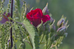Rote Rose,Red Rose,Rose Rouge (olds.wolfram) Tags: rose rouge red rot blüte blume blatt