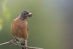 Yikes (Jan.Timmons) Tags: robin worm americanrobin turdusmigratorius quintessentialearlybird pacificnorthwest jantimmons tofu ickyworm naturephotographyday perched autoiso