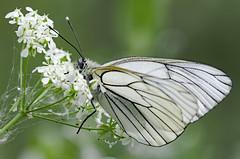 Aporia crataegi 2018-4 (lindnys) Tags: råbjergmose aporiacrataegi crataegi sortårethvidvinge sommerfugl butterfly ålbæk northdenmarkregion denmark dk