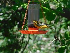 Female Baltimore Oriole (kathystokes3) Tags: birds orange summer baltimore baltimoreoriole